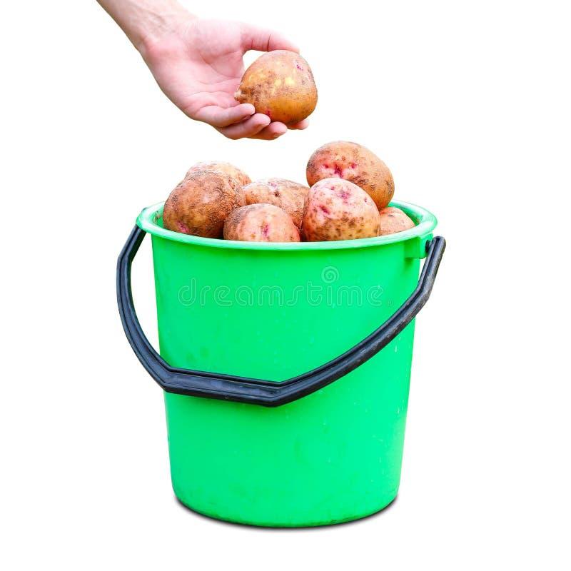 Handen som rymmer potatisarna Grön plast- hink med den nya potatisskörden close upp bakgrund isolerad white fotografering för bildbyråer