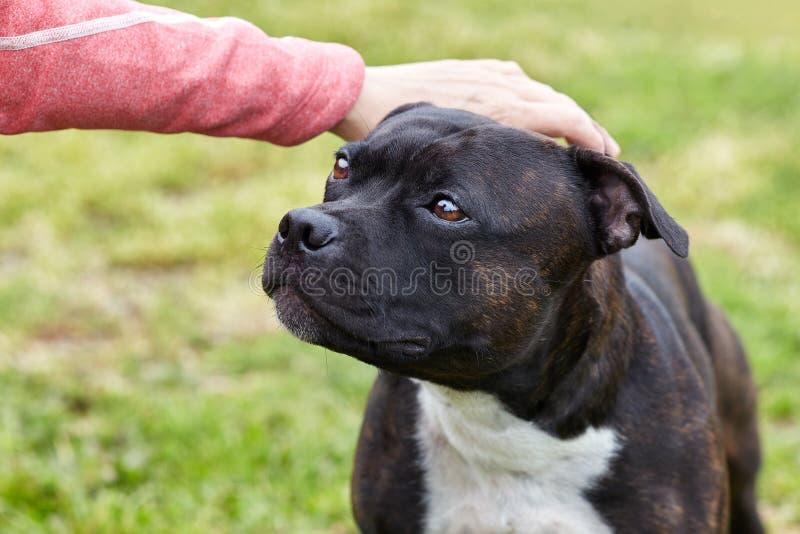 Handen som slår hundhuvudet Gullig hundframsida som söker efter personen med förälskelse och ödmjukhet Begrepp av att adoptera ti royaltyfria foton
