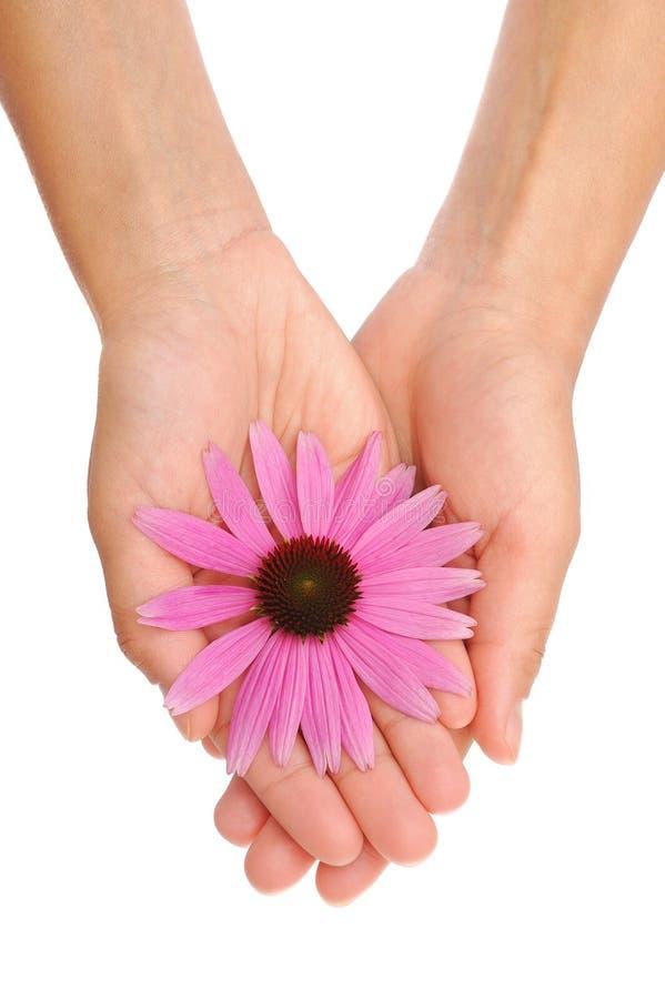 Handen van de jonge bloem van Echinacea van de vrouwenholding royalty-vrije stock afbeeldingen