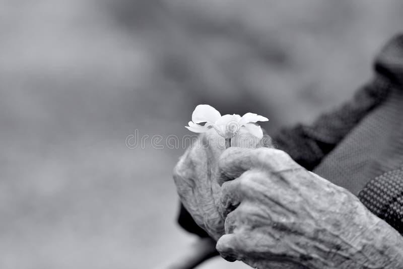 Handen van een oude heer die een bloem houden stock afbeelding