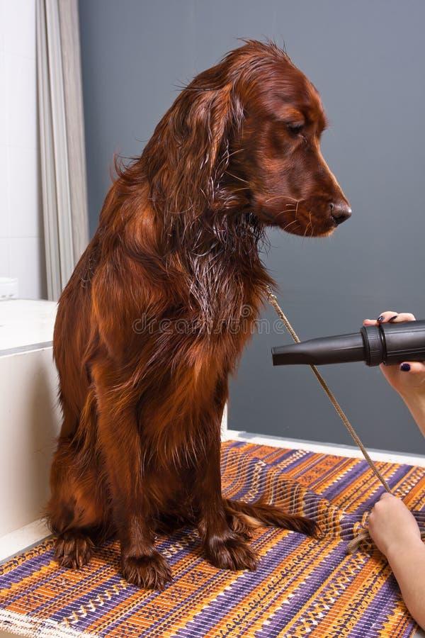 Handen van groomer drogend haar van hond royalty-vrije stock foto's
