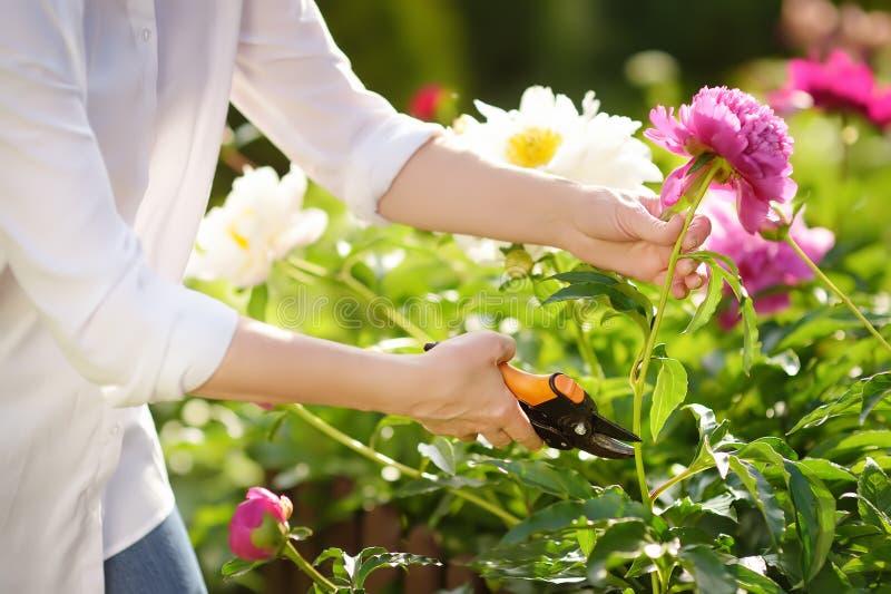 Handen van middenleeftijds vrouwelijke tuinman Vrouw die met secateur in binnenlandse tuin bij de zomerdag werken stock foto's