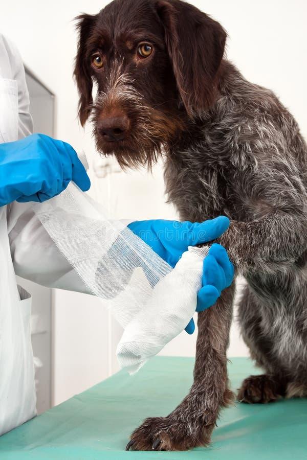 Handen van veterinaire het verbinden poot van hond royalty-vrije stock foto