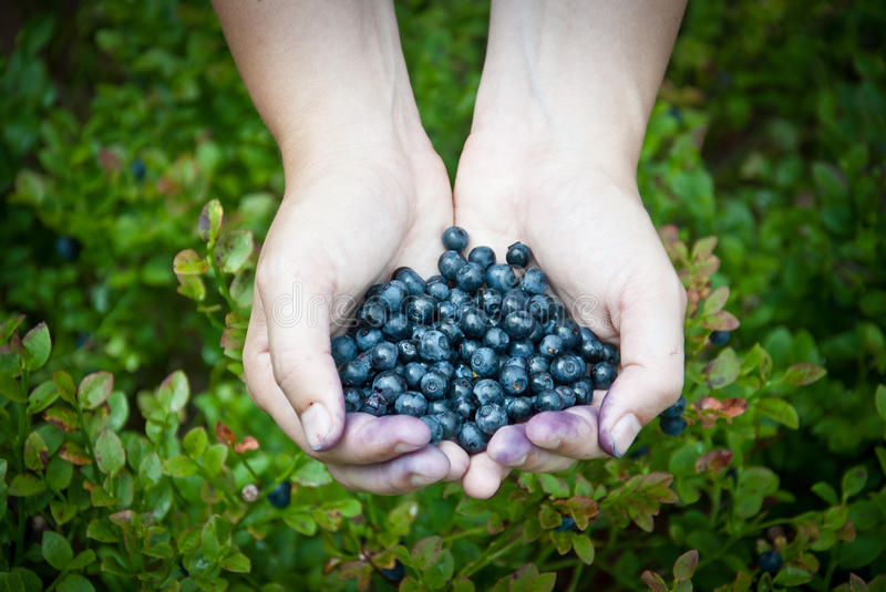 Handful of blueberries in the forest stock photography