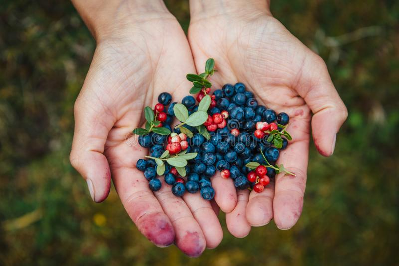 Berries in the palms of the girl royalty free stock photography