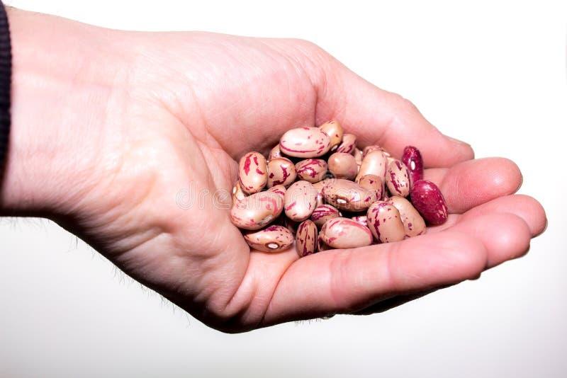 A handful of Borlotti beans royalty free stock photography