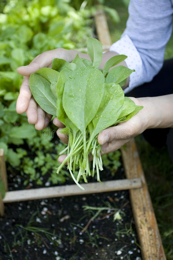Handful of fresh spinach. stock photos