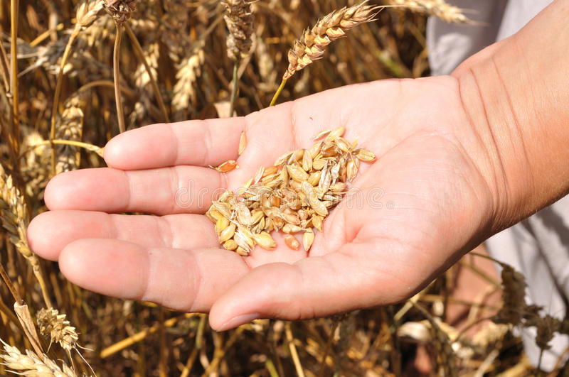A handful of grains of wheat on hand stock photos