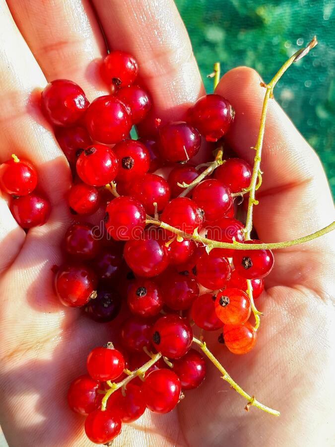Free Handful Of Ripe Redcurrants In The Sunlight Stock Image - 195361811