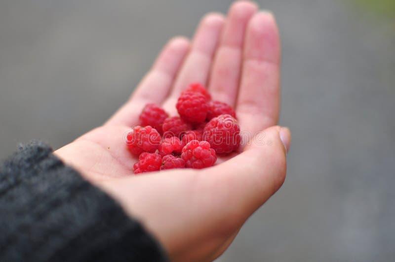 Handful of raspberries royalty free stock photography