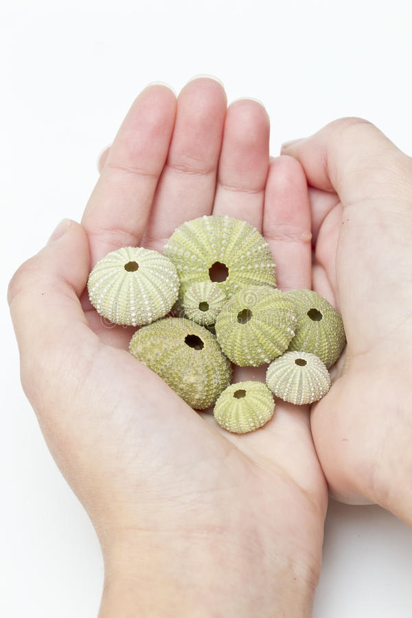Handful of sea urchins stock image