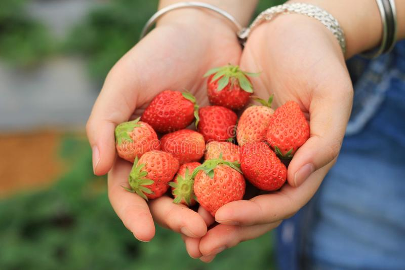 A handful of strawberries stock image