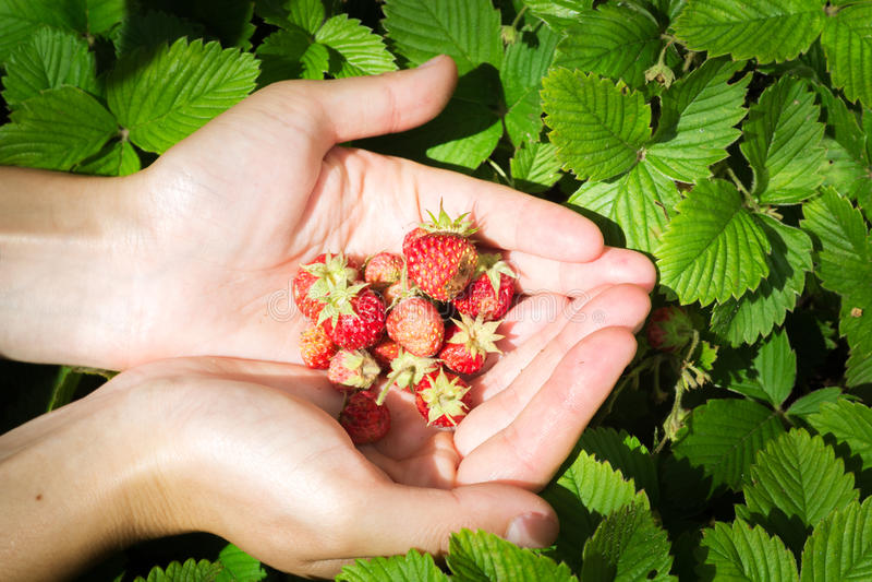 Handful of strawberries in hands stock images