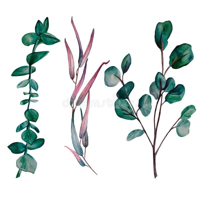 Handgemalter Satz des Aquarells von 3 Eukalyptusniederlassungen lizenzfreie abbildung
