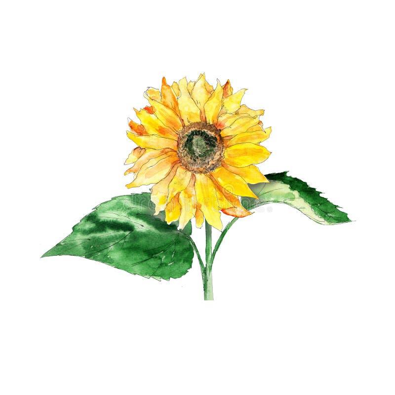 Handgezeichnete, künstlerisch gefärbte gelbe Sonnenblume mit Samen auf weißem Grund lizenzfreie abbildung