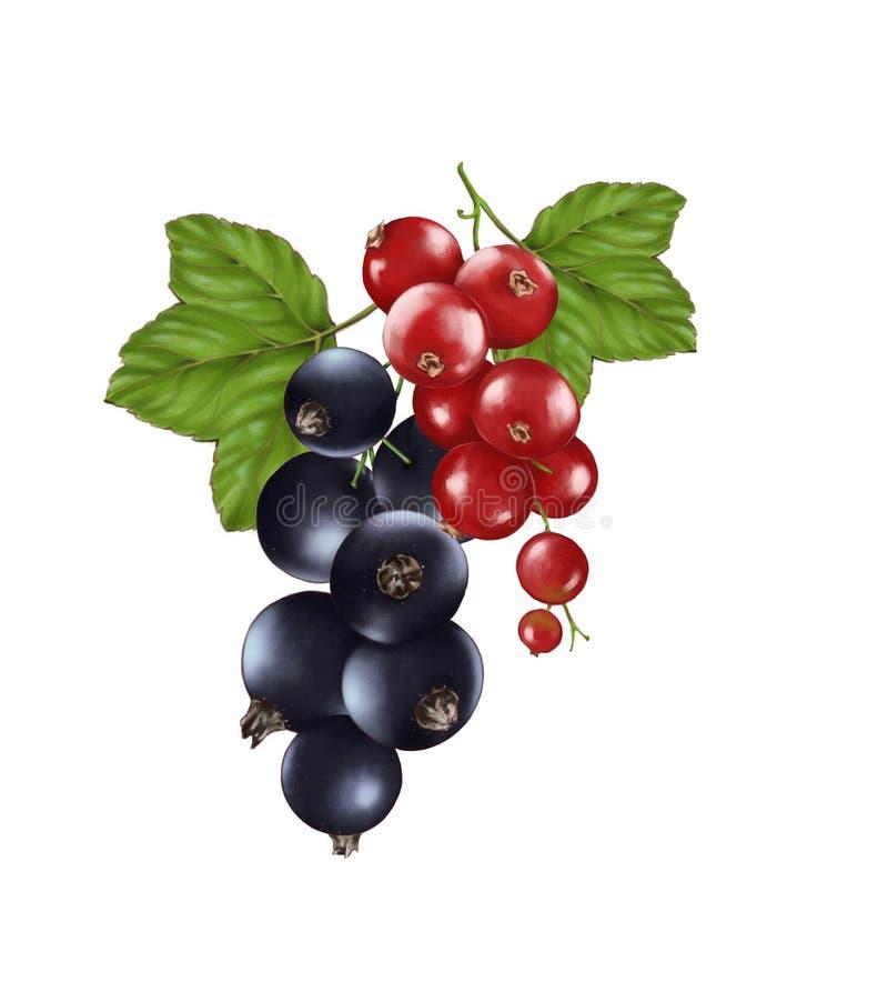 Handgezogene Aquarellillustration der Nahrung: reife geschmackvolle rote und Schwarze Johannisbeere vektor abbildung