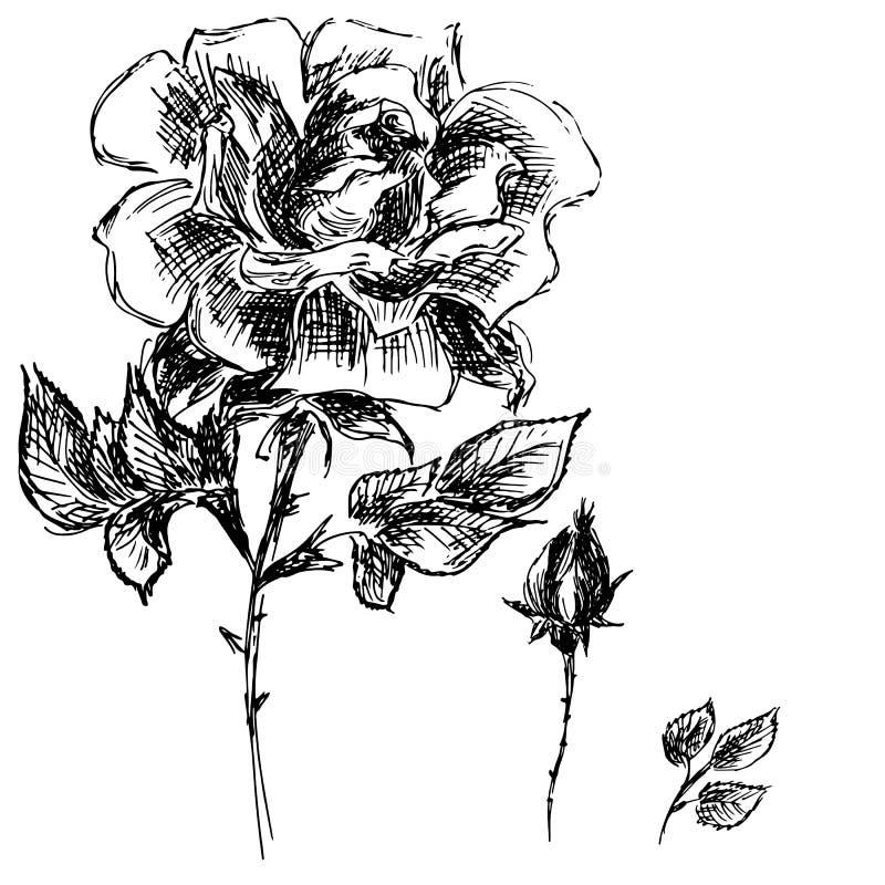 Handgezogene Vektor-Illustrationen des abstrakten Satzes der Rosen-Blume lokalisiert auf Wei? Handgezogene Skizze einer Blume vektor abbildung