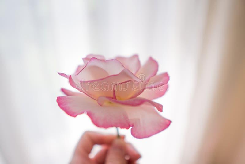 Handhand för kvinnor med rosa rosenblommor på bakgrunden royaltyfri foto