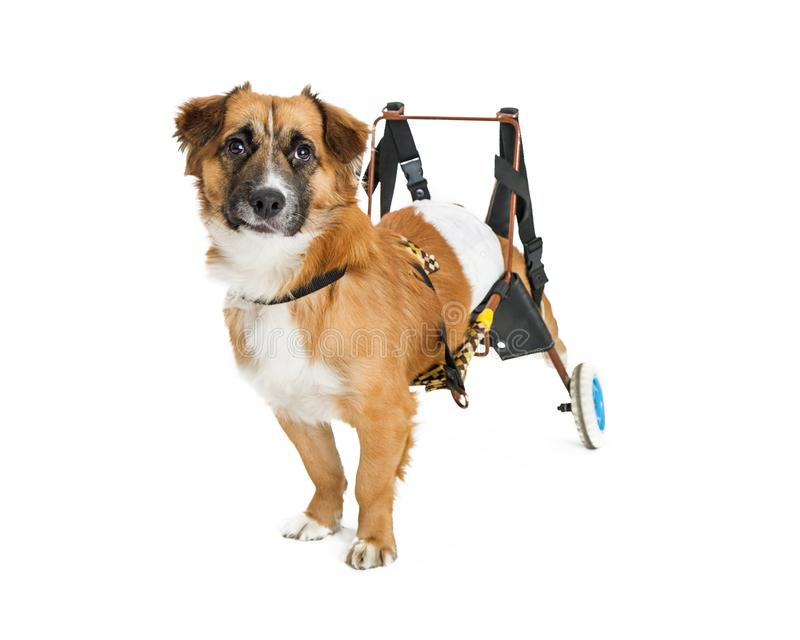 Handikappad hund i rullstol arkivfoton