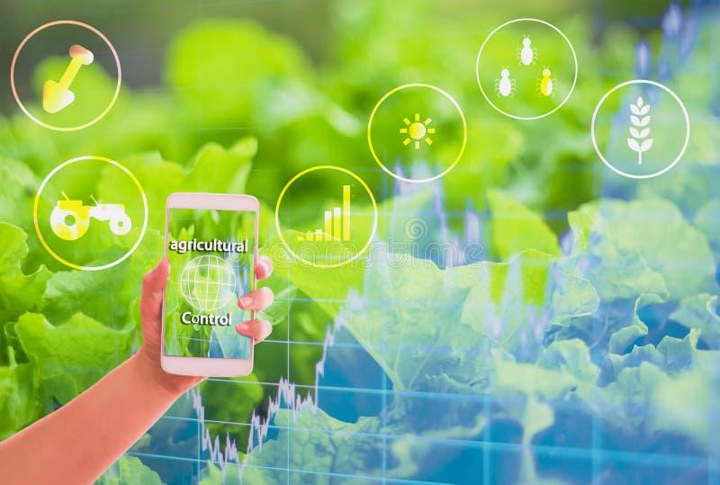 Handinnehavsmartphone, guld- fält för bakgrund, grafer som visar materiel, begreppsjordbruksproduktkontroll med teknologi, royaltyfria foton