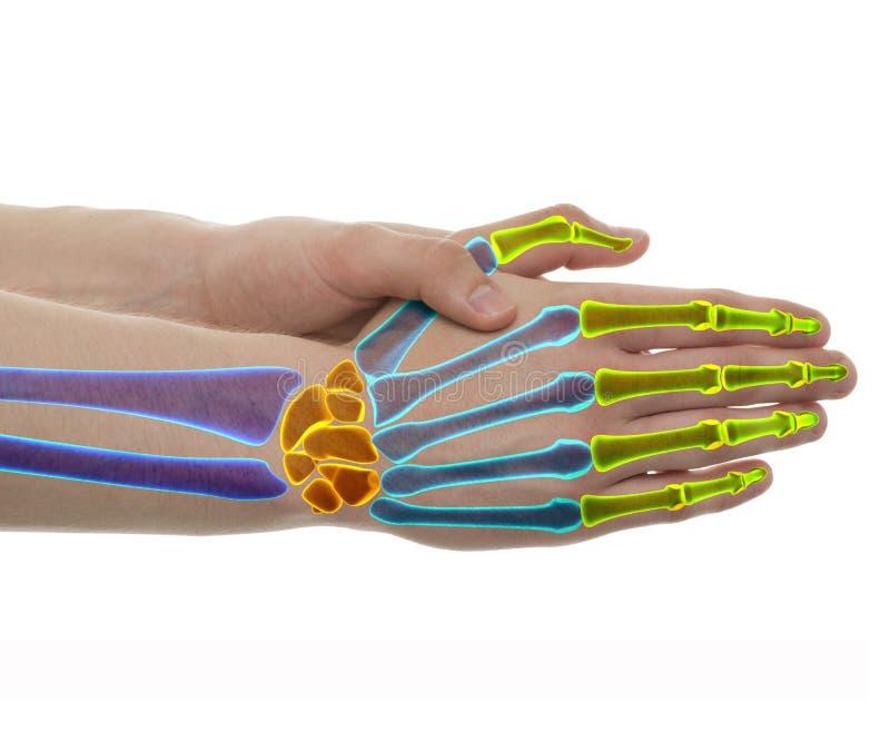 Handknochen - Atelieraufnahme mit der Illustration 3D lokalisiert auf Weiß vektor abbildung