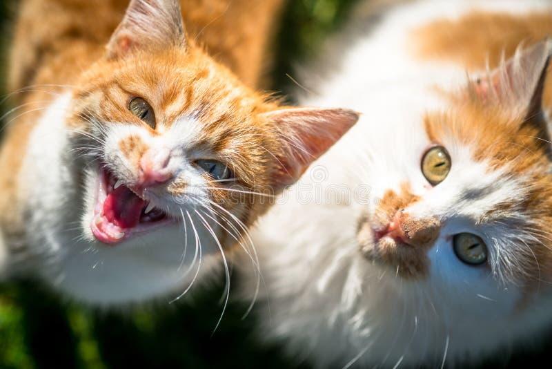Handla med en aggressiv katt royaltyfria foton