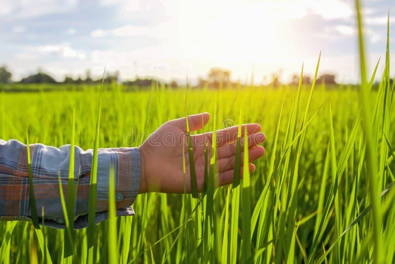 Handlandwirt, der grünen Reis im Bauernhof berührt lizenzfreie stockfotos