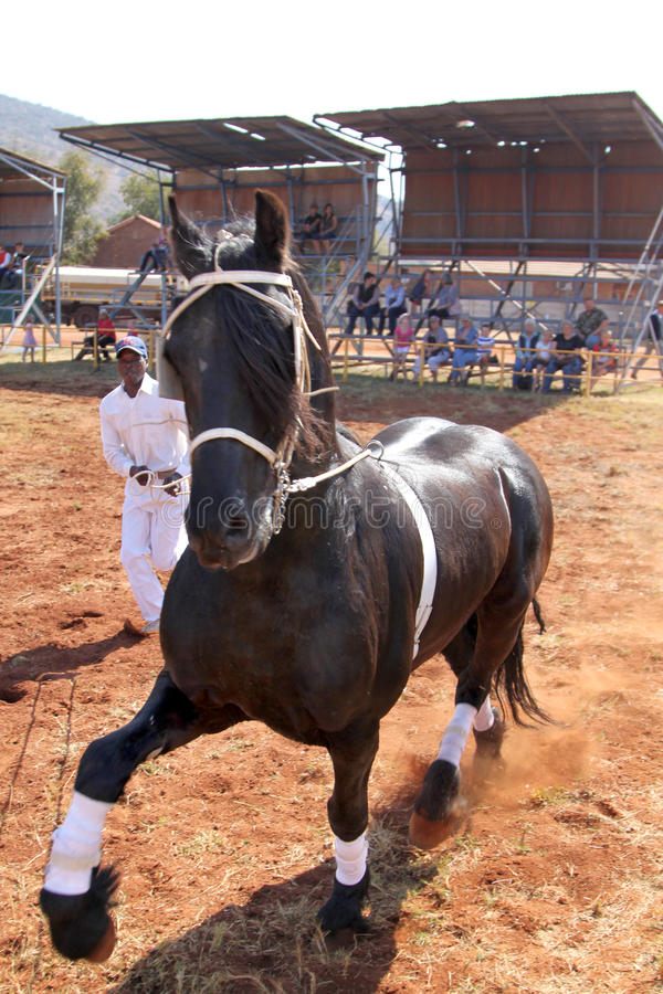 Handler letting lovely black Friesian horse gallop. THABAZIMBI, SOUTH AFRICA - August 1: Friesian horse show at Thabazimbi Agricultural Show, on August 1, 2014 royalty free stock image