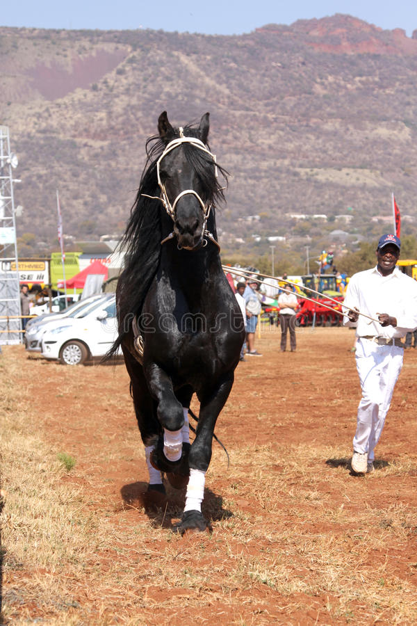 Handler letting lovely black Friesian horse gallop. THABAZIMBI, SOUTH AFRICA - August 1: Friesian horse show at Thabazimbi Agricultural Show, on August 1, 2014 stock photography