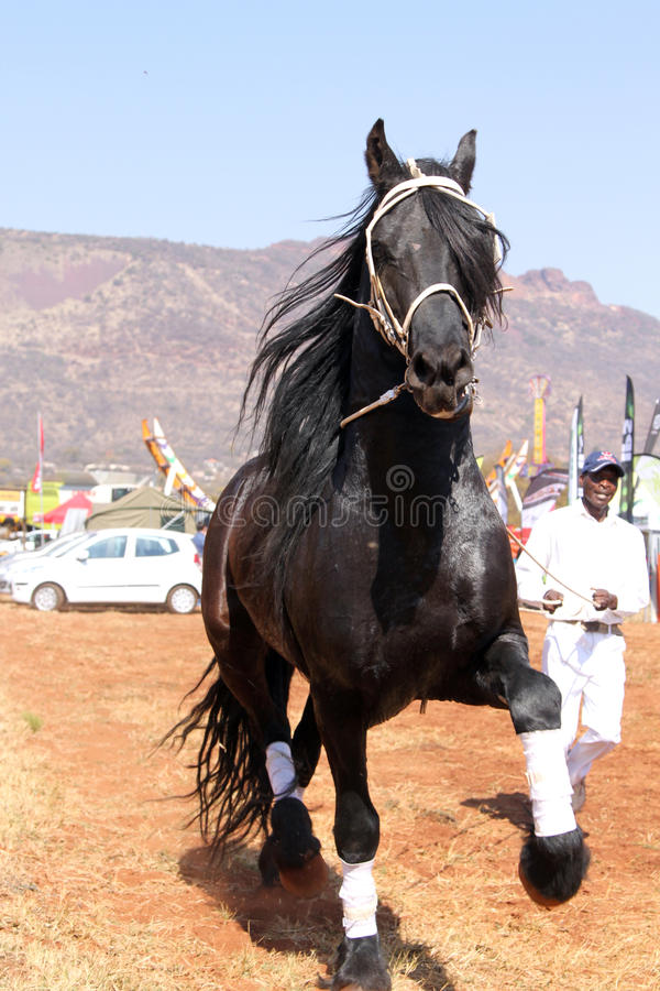 Handler letting lovely black Friesian horse gallop. THABAZIMBI, SOUTH AFRICA - August 1: Friesian horse show at Thabazimbi Agricultural Show, on August 1, 2014 royalty free stock photography