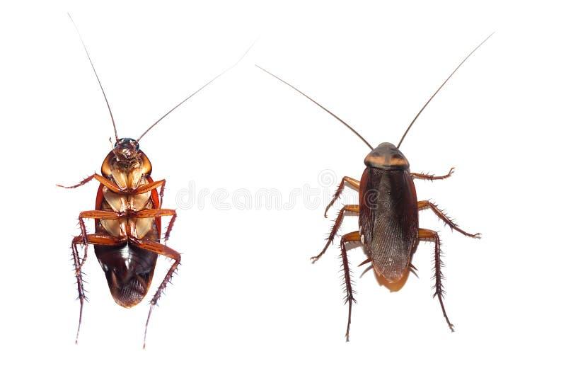 Handlingbild av kackerlackor, royaltyfri foto