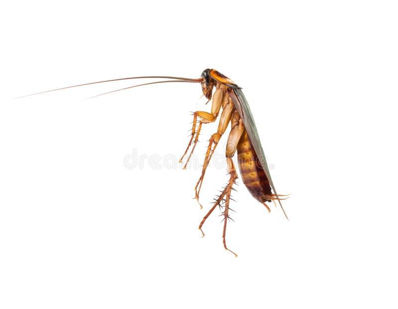 Handlingbild av kackerlackor, arkivbild