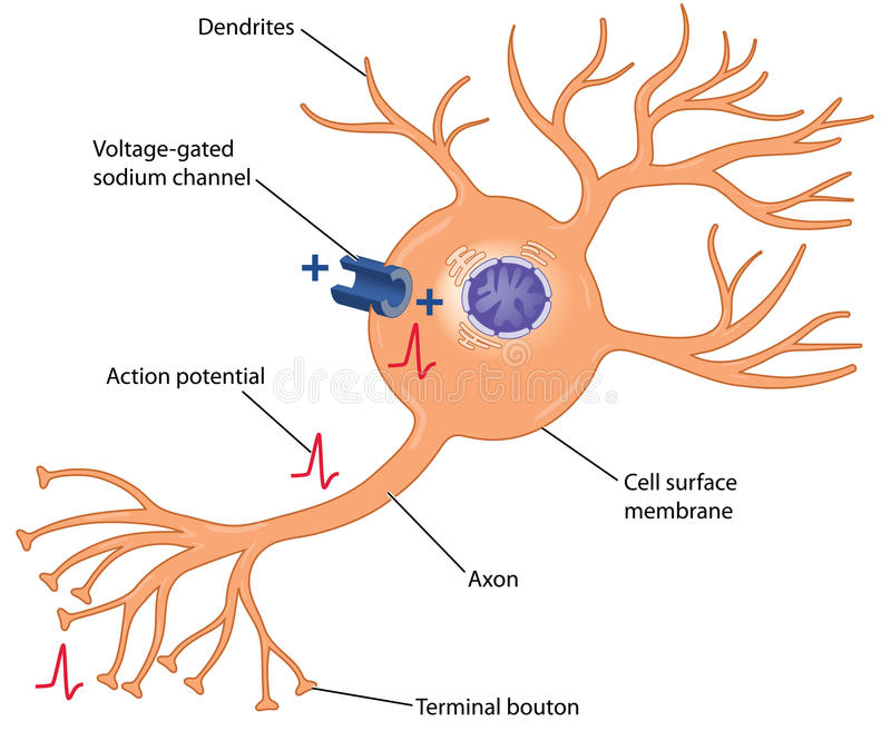 Handlingspänning i en nervcell royaltyfri illustrationer