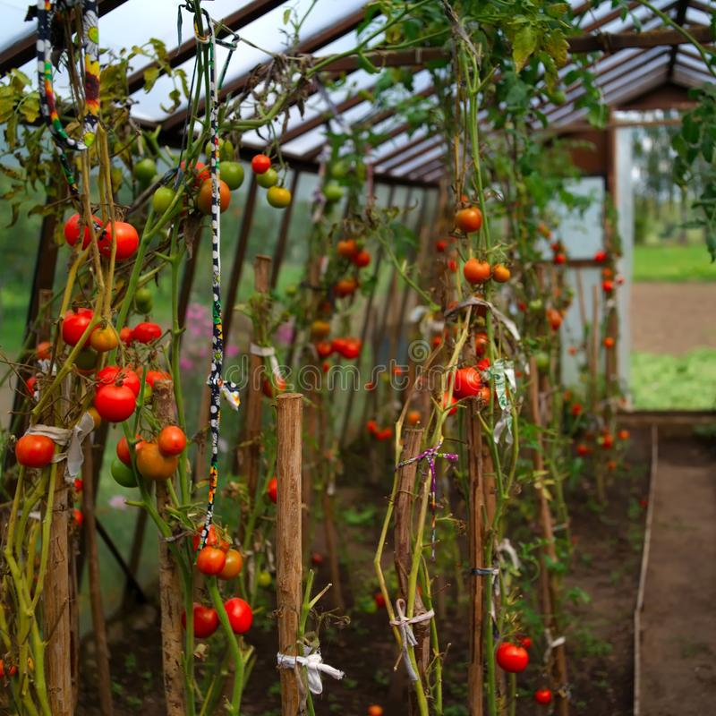 Greenhouse with red tomatoes royalty free stock images