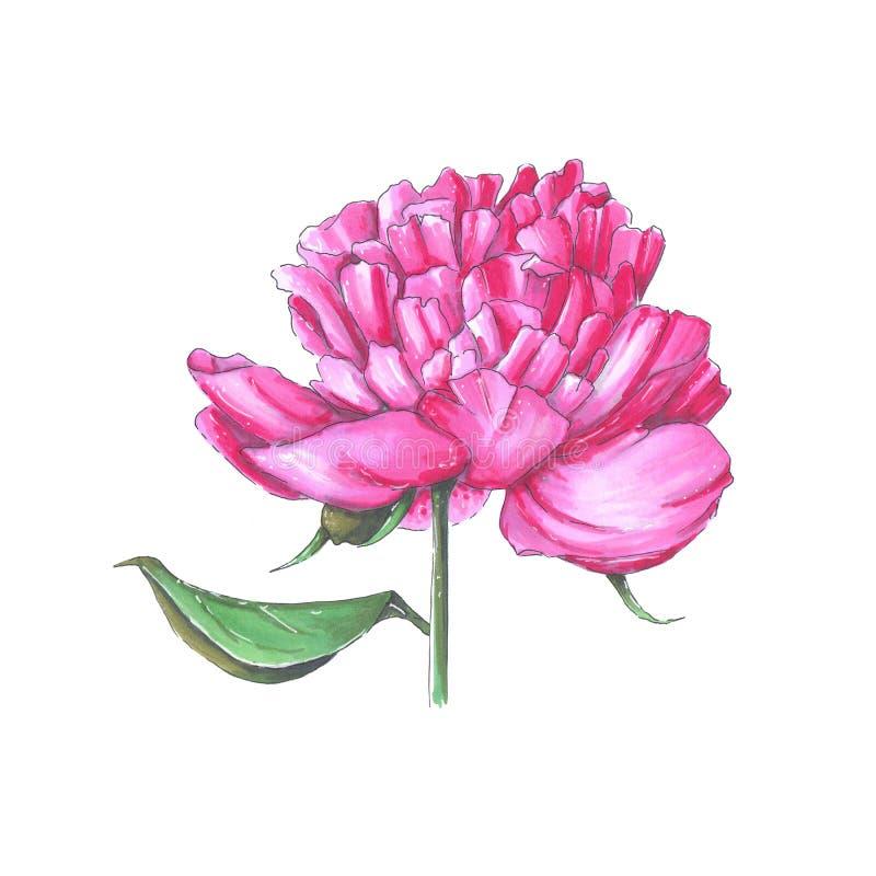 Handmade markier rysująca botaniczna ilustracja peonia ilustracja wektor