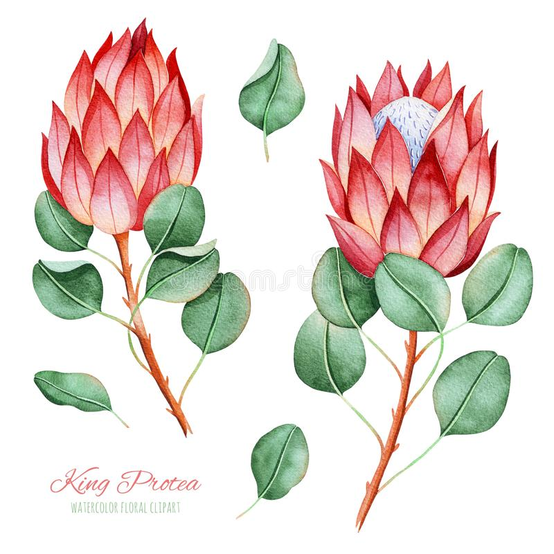 Handpainted collection with watercolor king protea and leaves. stock illustration