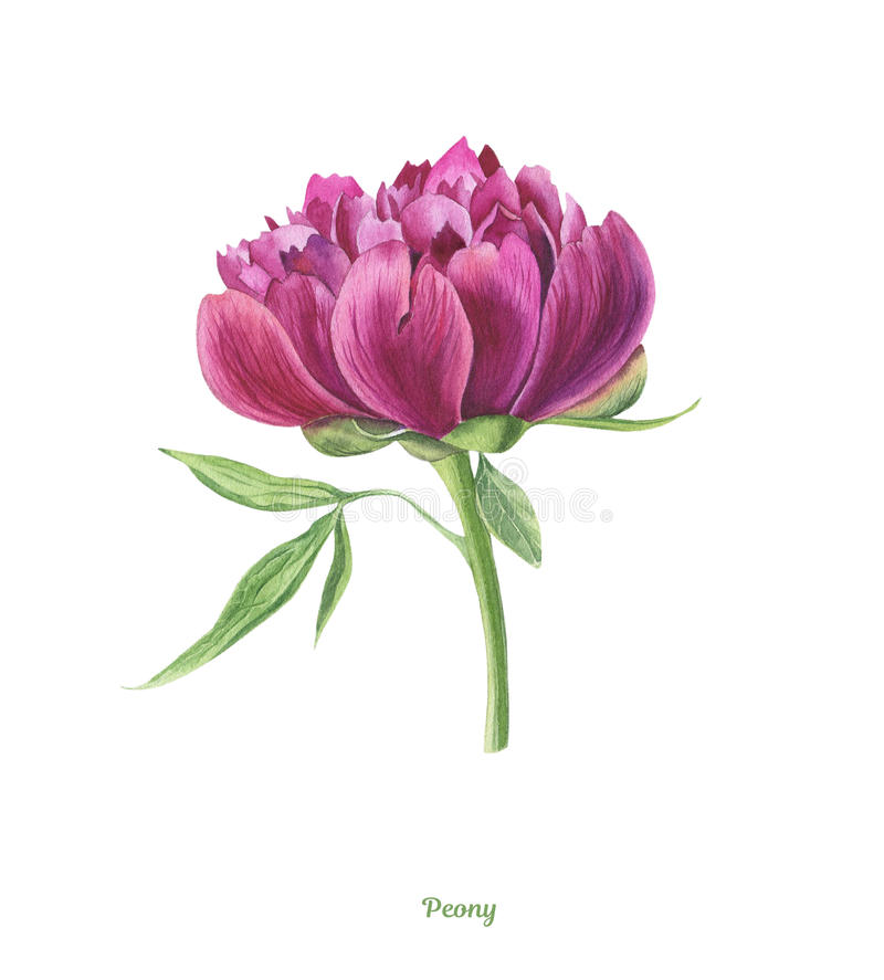 Handpainted watercolor peony poster stock illustration