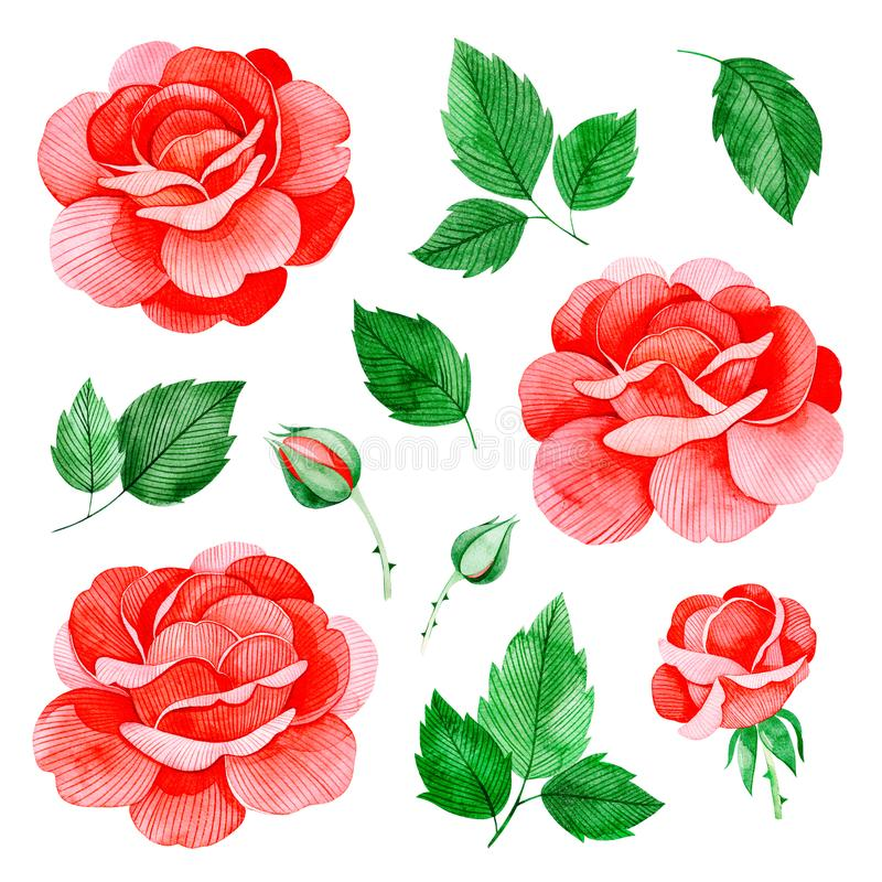 Handpainted watercolor roses flowers, and leaves.11 lovely clipart isolated. Can be used for your project,greeting cards,wedding,Birthday cards,bouquets,wreaths vector illustration