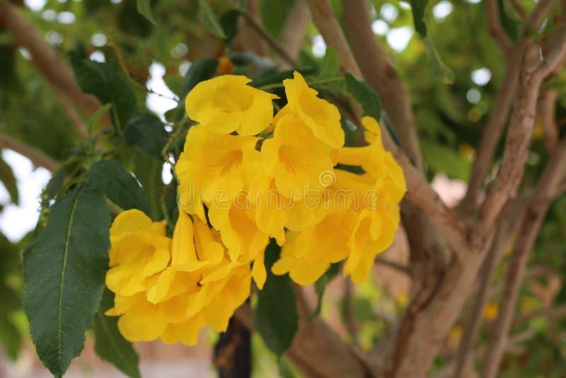 Handroanthuschrysotrichus in Israel Eilat-stad stock afbeeldingen