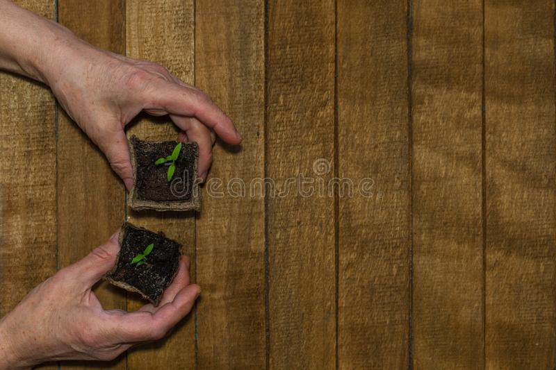 Hands of an adult with a sprout in a peat pot on a wooden background. Hands of an adult with a sprouts in a peat pots on a wooden background royalty free stock photos