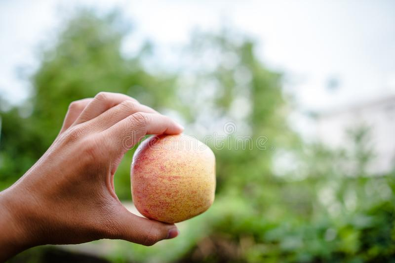 Hands and apples of people who love health care. Eating apples w royalty free stock images