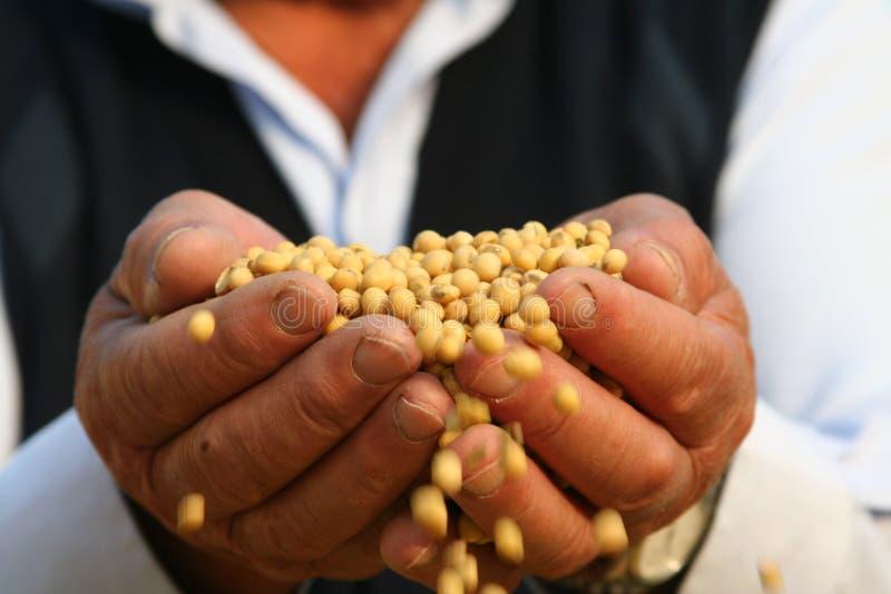 Hands bring soya stock photos