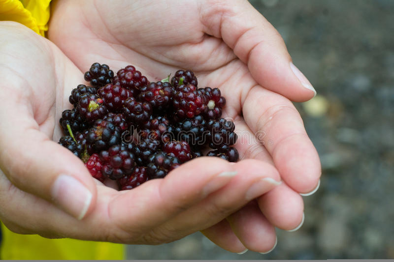 Hands carrying blackberries close-up stock image