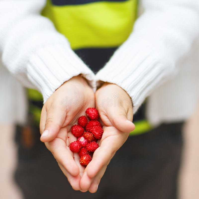 Hands of a child holding ripe wild strawberries from the forest royalty free stock image