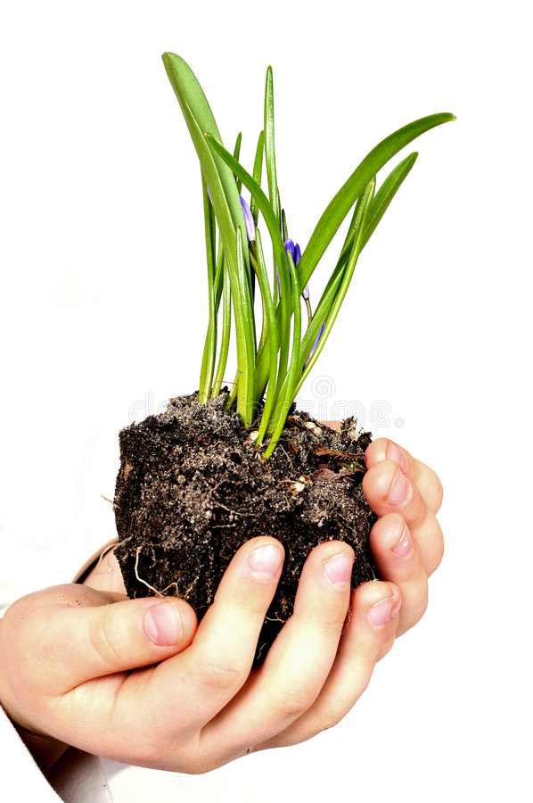 Download Hands of child with plant stock photo. Image of environmental - 4792388