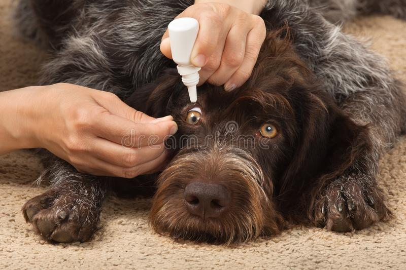 Hands drip medicine in the dog`s eyes. Hands of woman dripping in eyes of dog stock image