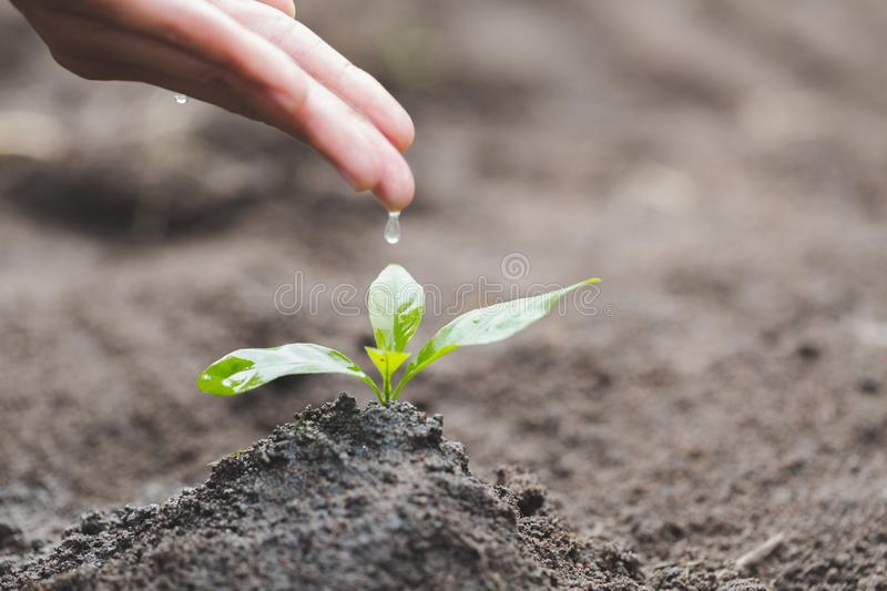The hands are dripping water to the small seedlings, plant a tree, reduce global warming, World Environment Day royalty free stock image