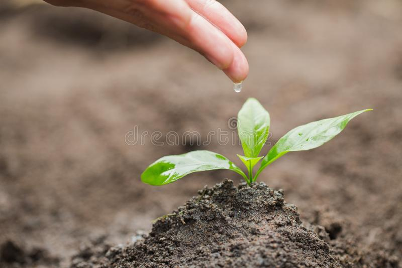 The hands are dripping water to the small seedlings, plant a tree, reduce global warming, World Environment Day royalty free stock photography