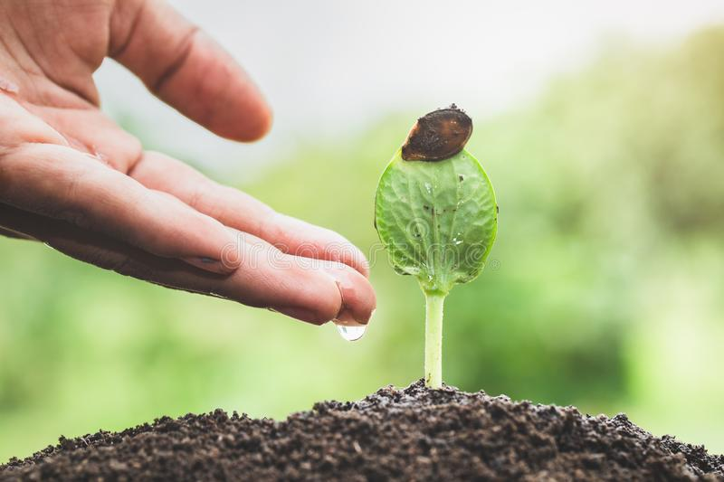 The hands are dripping water to the small seedlings, plant a tree, reduce global warming, World Environment Day.  royalty free stock photos