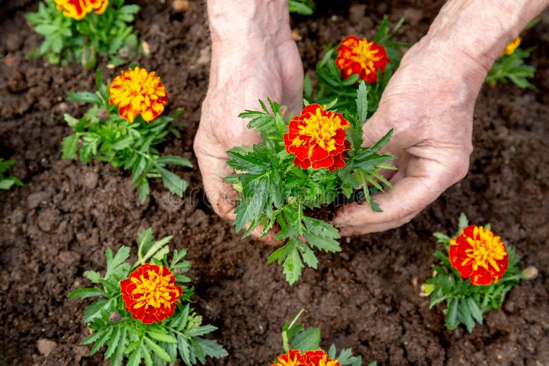Hands of elderly man planting a flower into the soil of a flowerbed. Ecology spring background concept royalty free stock photography